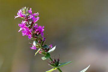 Violetter Blütenstiel von Anjella Buckens