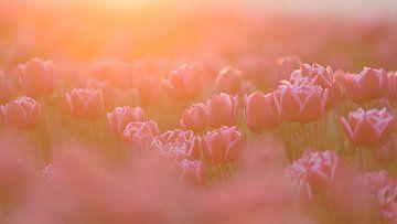 Weiche Tulpen von Anita Meis