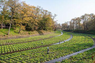Wasabi-Pflanzen und Bauern in einem Fluss von Mickéle Godderis