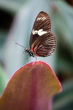 Passionsblumen-Schmetterling von Kevin IJpelaar