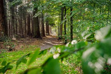 Landweg in Nederlandse bossen op de hoge veluwe. van Fotografiecor .nl