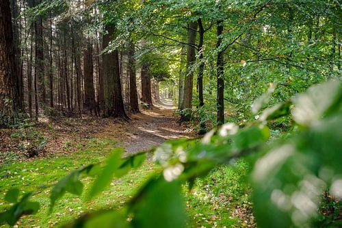 Landweg in Nederlandse bossen op de hoge veluwe.