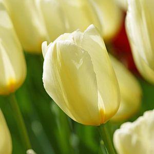Wit/gele tulp