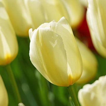 Wit/gele tulp van Peet Romijn
