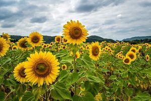 Sunflowers van Sylvia Schuur