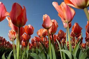 Rode Tulpen - Holland van