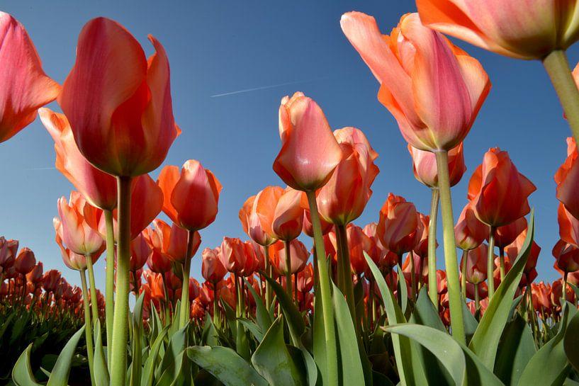 Rode Tulpen - Holland van Roelof Foppen