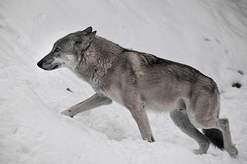Großer grauer Wolf im Schnee. Ein Wolf rennt auf weißem Hintergrund im Profil durch den Schnee. von Michael Semenov