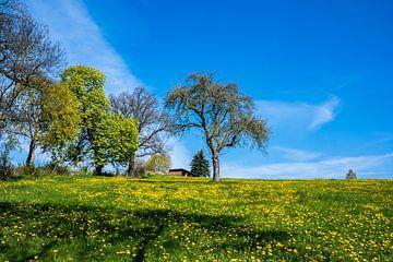Grüne Wiese mit Löwenzahn im Frühling von Animaflora PicsStock