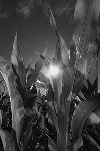Young Corn in B/W