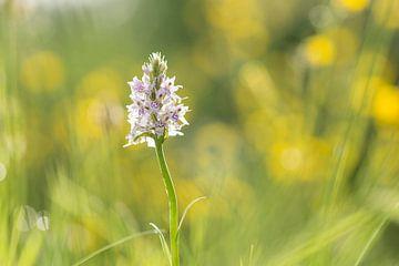 Gevlekte orchis tussen de boterbloemen van Francois Debets