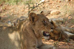 Löwin knurrt im Rudel
