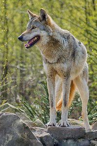 Wolf hält Wache