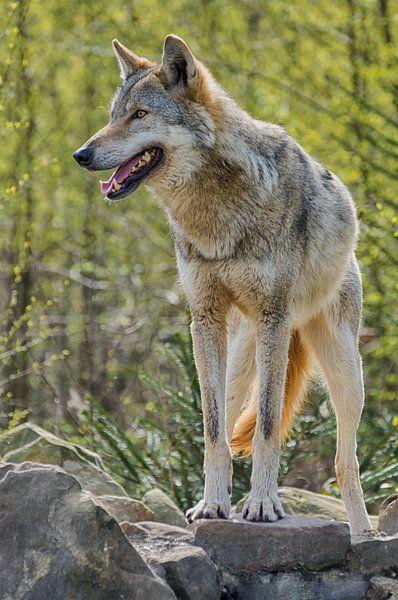 Wolf houdt de wacht van Mark Bolijn