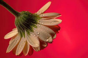 Blumen Traum 3 von Marcel Kieffer