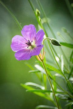 Schöne Details einer violetten Geranienblüte von Michel Geluk