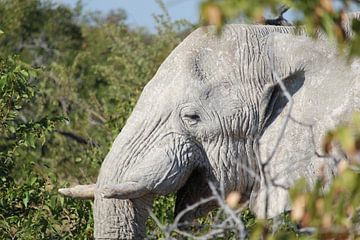 Oude, wijze olifant in de Okavango Delta in Botswana, Afrika van Remco Phillipson