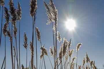 Weiße Rietfahnen mit Hintergrundbeleuchtung von Bert de Boer
