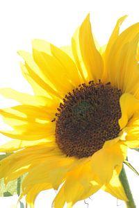 Sunny Sunflower van