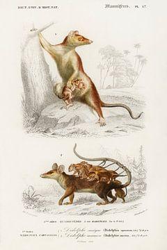 Possum van Heinz Bucher