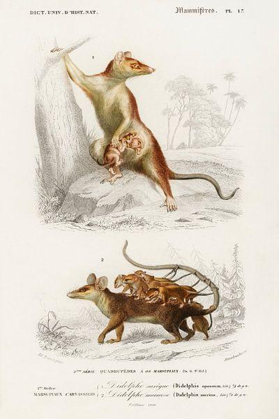 Opossum von Heinz Bucher