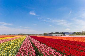 Tulpen in verschillende kleuren in de Noordoospolder van Marc Venema