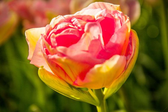 De roze tulp