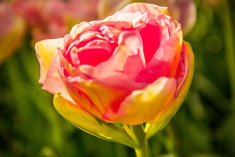 De roze tulp van Koop je Canvas