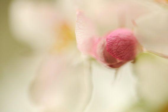 Wit met roze bloesem aan een appelboom