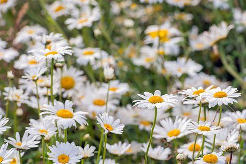 Wilde Gänseblümchen hautnah erleben