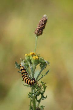 Chenille zébrée jaune-noir de papillon de pétoncle sur Shirley Douwstra