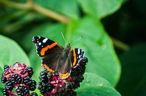 Atalanta Vlinder (Vanessa atalanta)