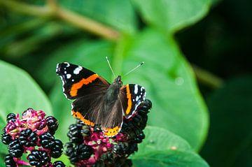 Atalanta Vlinder (Vanessa atalanta) von Dennis Timmer