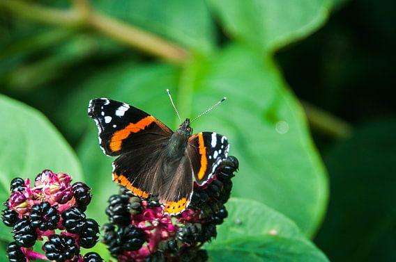 Atalanta Vlinder (Vanessa atalanta) van Dennis Timmer