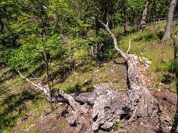 Dépérissement forestier dans le Harz dû aux dommages causés par les tempêtes et les ravageurs sur Animaflora PicsStock