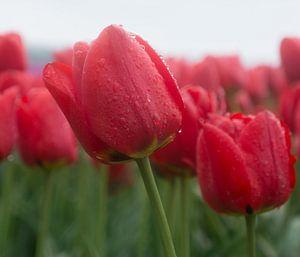 Tulpenveld op een regenachtige dag
