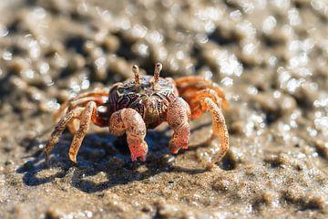 Kleurrijk krabbetje in Madagaskar sur
