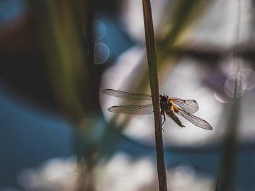 Libelle von Diane van Veen