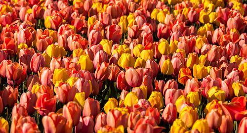 Mix van Tulpen