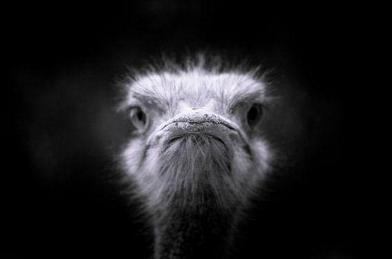 struisvogel close up