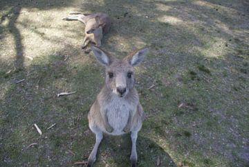 Een kangoeroe die zich afvraagt wat ik vast hou! van Ilias Achkaoukaou