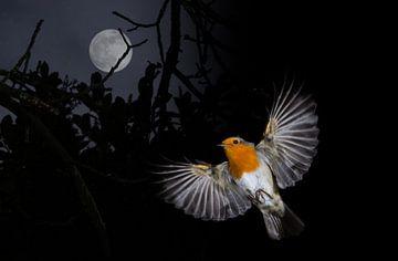 Robin en vol sur René van der Horst