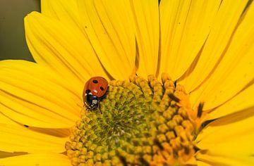 Nahaufnahme einer gelben Gartenblume mit Marienkäfer von Alex Winter
