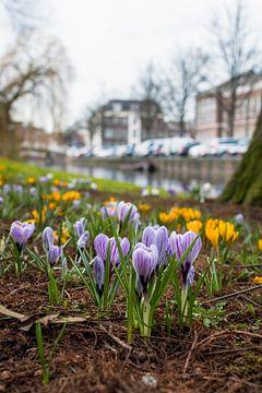 Krokus ontwaakt in het van der Werfpark in Leiden von Richard Steenvoorden