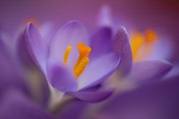 Paarse krokussen in de lente van Annika Westgeest Photography
