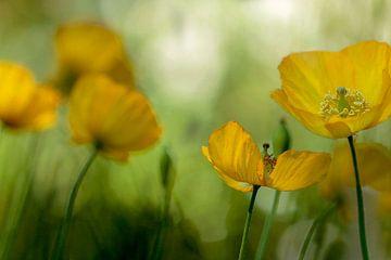 Gele papavers in bloei van Maria  Van Dijk