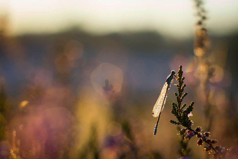 Een waterjuffer in de ochtendzon  van 3,14 Photography