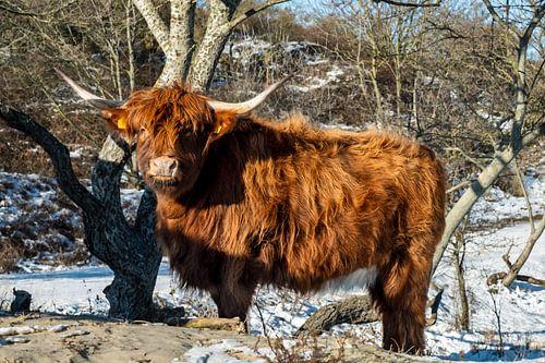 De oranje-bruine Schotse Hooglander kijkt recht in de camera