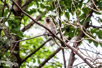 Singe sur une branche près du Nil en Ouganda sur Eric van Nieuwland