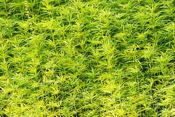 Wietplanten in de vrije natuur van Tonko Oosterink